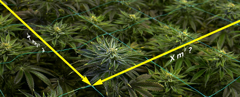 Ile roślin konopi można uprawiać na jednym metrze kwadratowym?