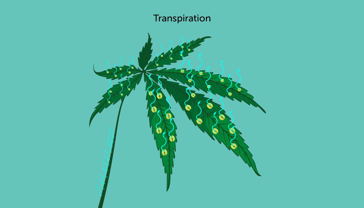Rośliny konopi tracą wilgoć przez transpirację
