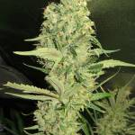 Growing in boxing 1024 feminized
