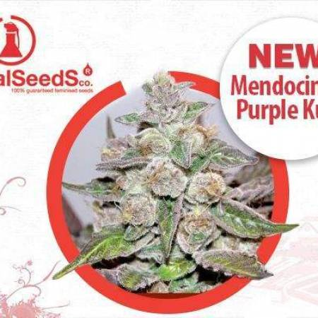 Mendocino purple Kush & Scotts OG