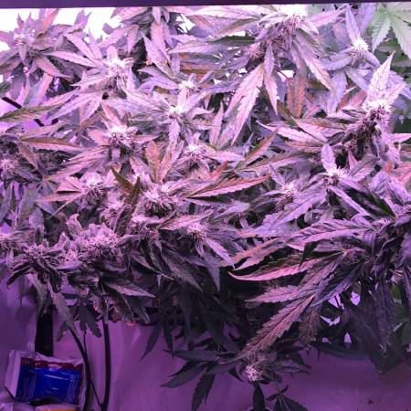1st grow DP autonight queen/blue mazar