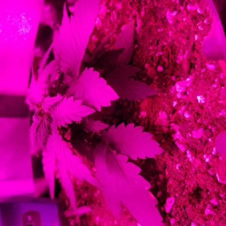 stilton special grow #1