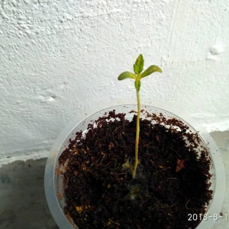 Powerplant Fem Grow