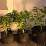 BudGeeks: GrapeGum Triplets Grow Log