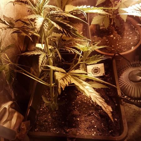 Critical + Dinafem Vertical Grow