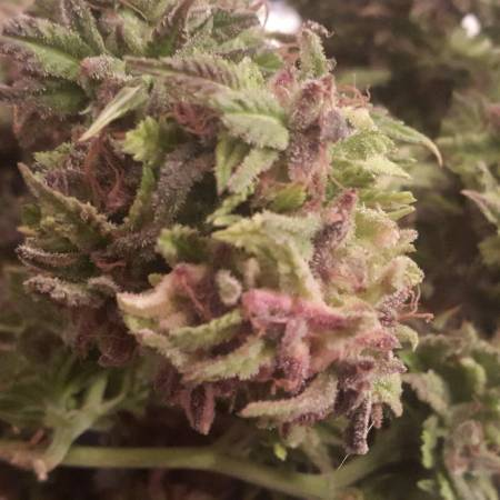 [Rainbow bud BIO] Feminized mix by WL