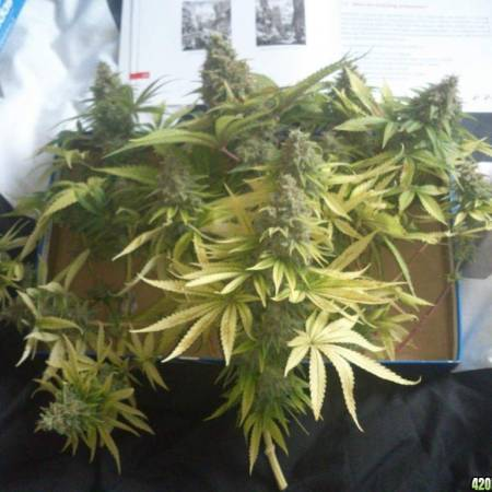 Female Seeds - White Widow x Big Bud