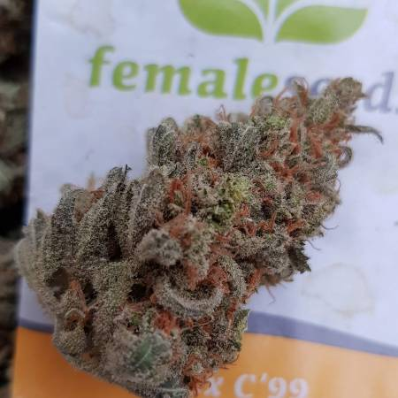 Female seeds C99 grow journal by Oyziphar - GrowDiaries