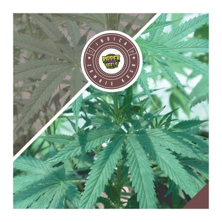 Ripper Seeds - Zombie Kush Review
