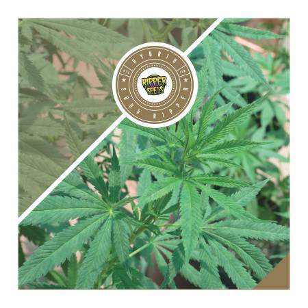 Ripper Seeds - Sour Ripper Review