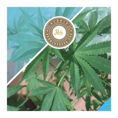 Resin Seeds - Hammershark CBD Review