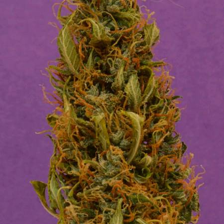 White Widow Auto-flowers - Spliff Seeds