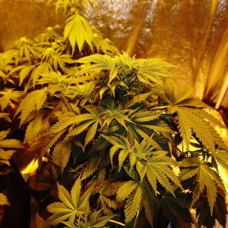 cbd widow / first grow