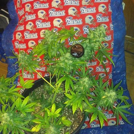 Dinafem rr#2 grow