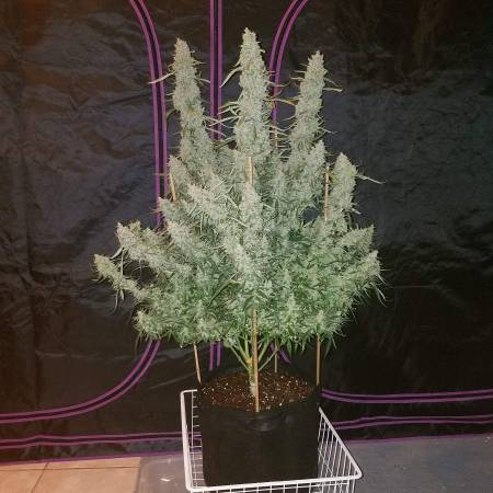 Tangerine Dream GYO Seedbank