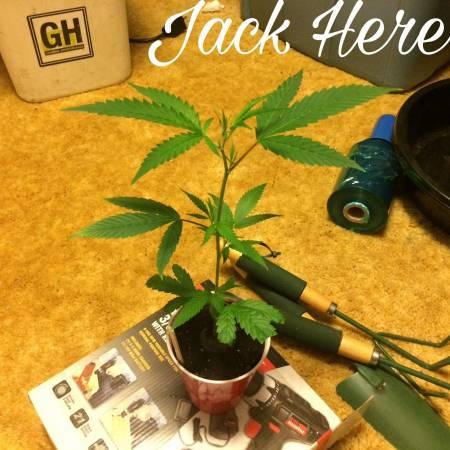 Saint's Jack Herer