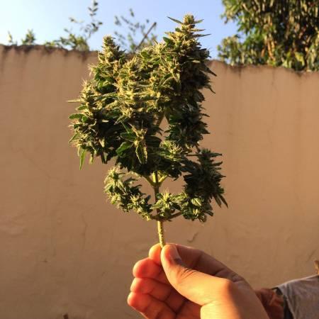 1° Grow/Automatic (Haze +BR Mango)