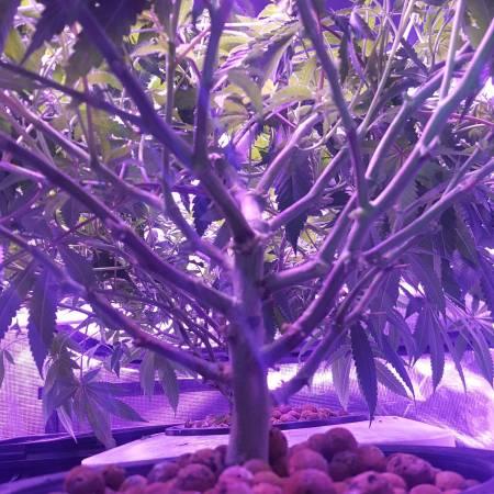 Under Current RDWC 1st Grow Monster Crop