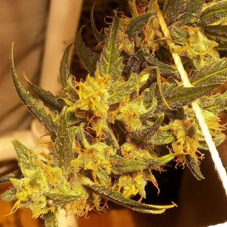 Gorrila Glue #4 Auto-Expert Seed Bank