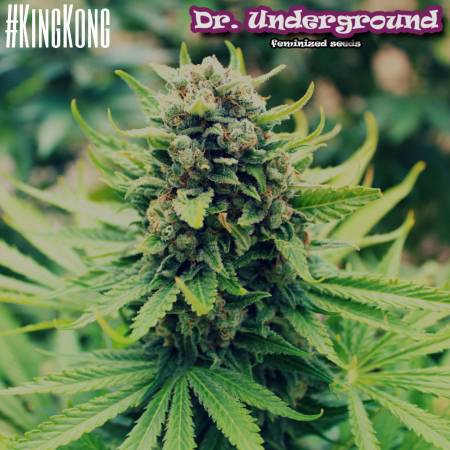 King kong dr Underground