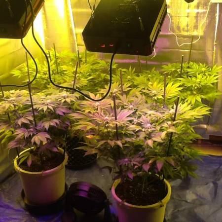 4 strain indica mix led+hps combo