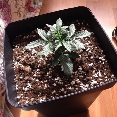 Green Crack&Cream Mandarine 1er cultivo