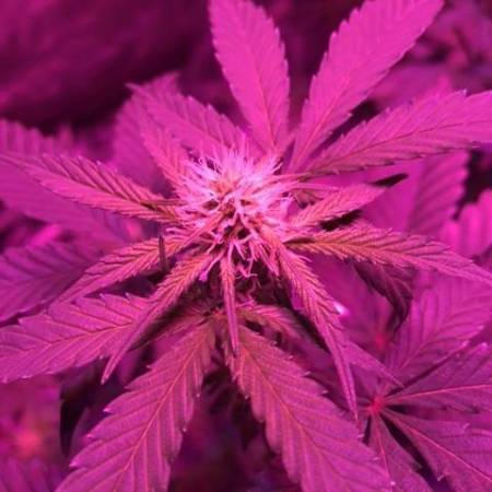 First Fem Indoor Grow