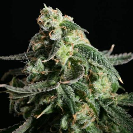 Bimburn seeds gsc