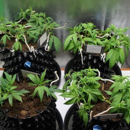 Slingshot Clone organic grow