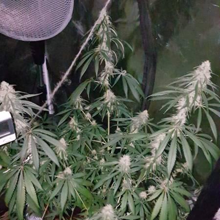 Seedsman's velvet bud