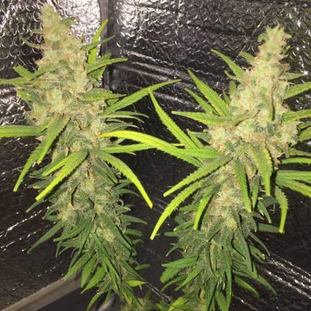 Acres Cannabis Blue Dream
