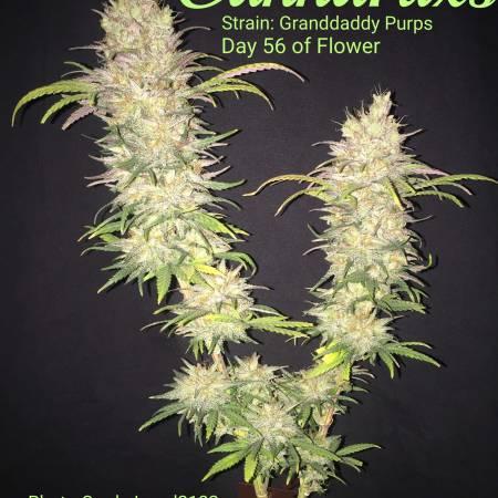 Bag Seed Grand Daddy Purps grow