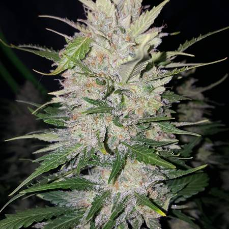 Fast Buds BLUE DREAM