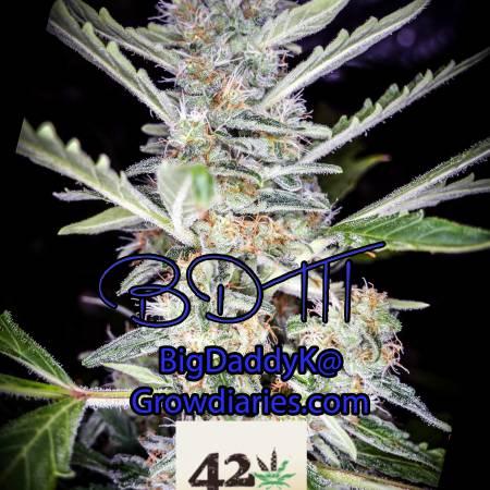 BDK DWC Fast Buds BDM