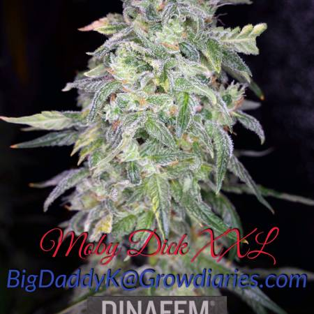 DWC full detail diary Dinafem Moby XXL