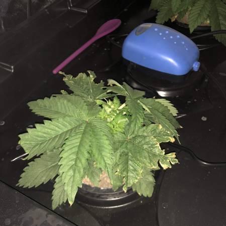 Sour diesel dwc grow