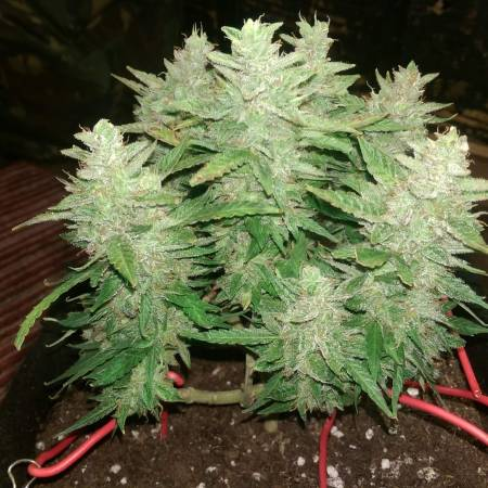 ultra micro auto main line grow