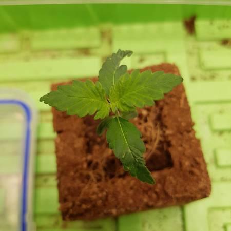 CLU048 Grow #1 - T