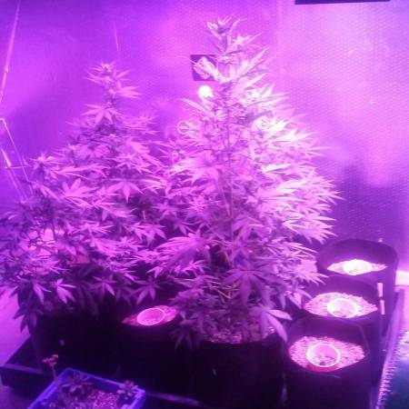 Autoflowers and photoperiod grow