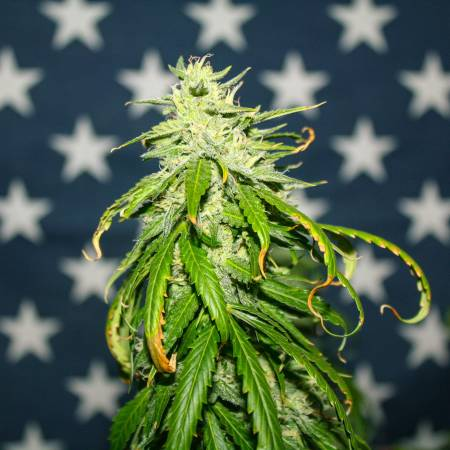 Mephisto Genetics Limited Edition Grow
