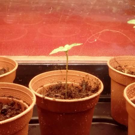 *GORILLA BOMB* 2nd Grow