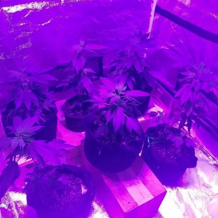 First Grow Ever 600 Watt LED