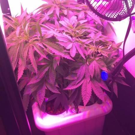 Mr. Nice - First indoor grow