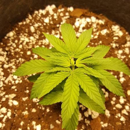 Canuk Cookies MicroGrow