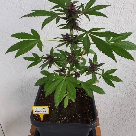 Purple Kush - First grow since 15 years