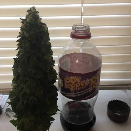Dwc First grow Gage Green Euphoric