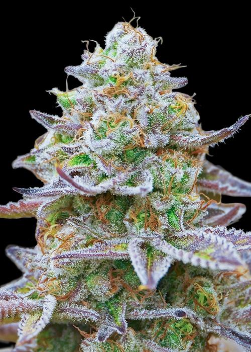 Gorilla Zkittlez / Barney's Farm strain info - GrowDiaries