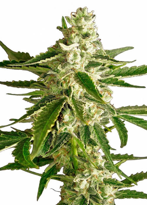 White Diesel Haze Automatic