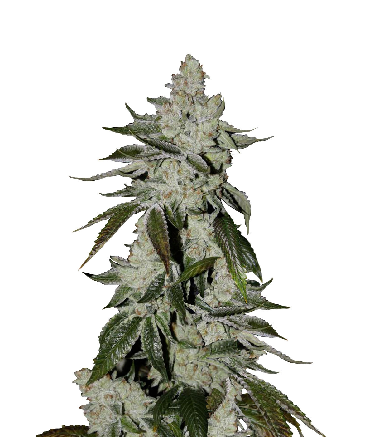 Girl scout cookies fastbuds strain information strain reviews girl scout cookies fastbuds strain information strain reviews grow journals growdiaries nvjuhfo Image collections