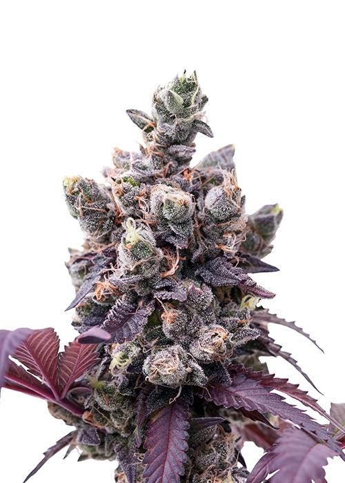 Wedding Gelato / Royal Queen Seeds strain info - GrowDiaries